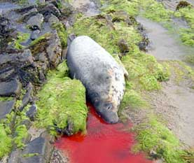 Shot seal (© Orkney Seal Rescue)